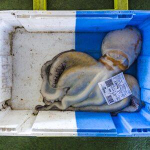 Pulpo al mercato del pesce di Malpica